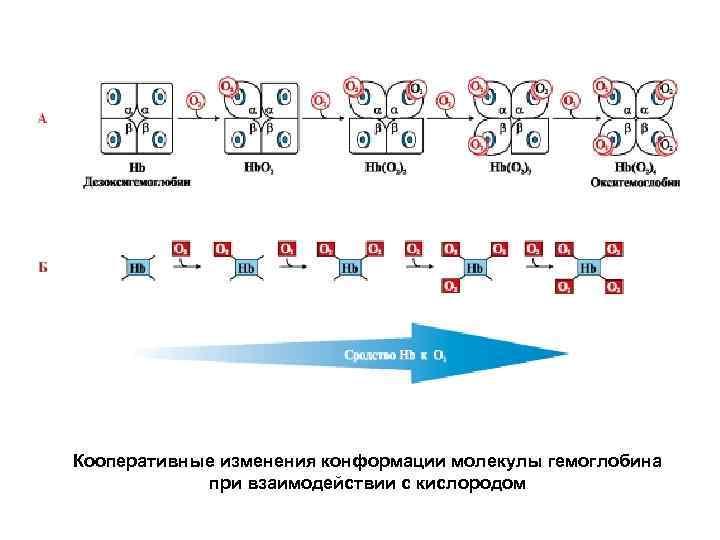 Кооперативные изменения конформации молекулы гемоглобина при взаимодействии с кислородом