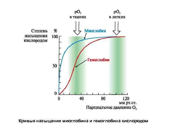 Кривые насыщения миоглобина и гемоглобина кислородом