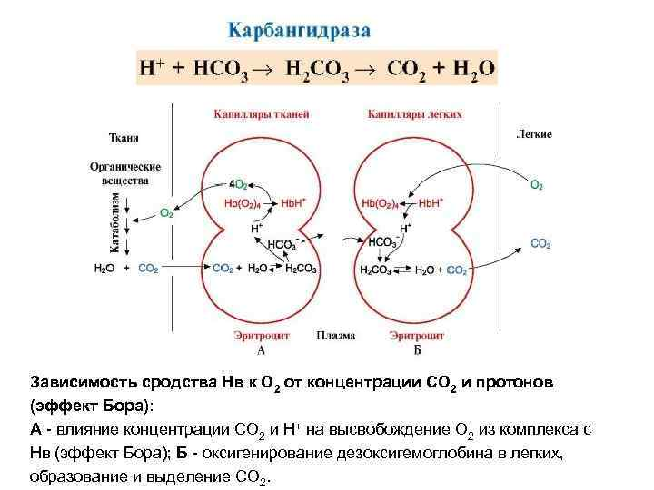 Зависимость сродства Нв к О 2 от концентрации СО 2 и протонов (эффект Бора):