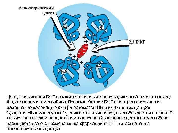 Центр связывания БФГ находится в положительно заряженной полости между 4 протомерами гемоглобина. Взаимодействие БФГ
