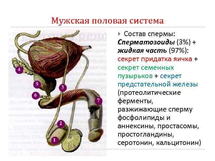 сперма ето билок