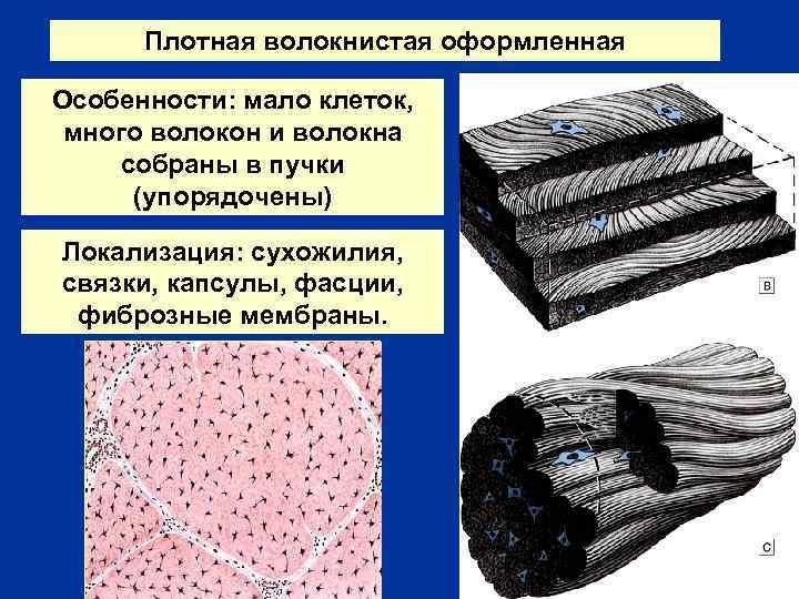 Плотная волокнистая оформленная Особенности: мало клеток, много волокон и волокна собраны в пучки (упорядочены)