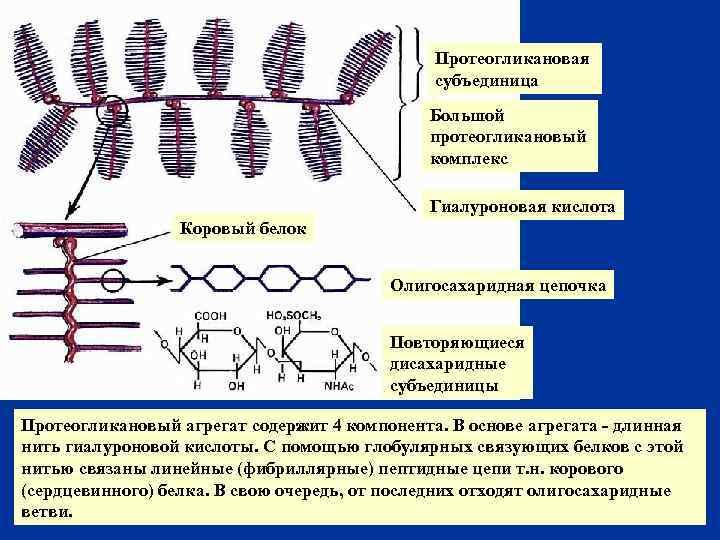 Протеогликановая субъединица Большой протеогликановый комплекс Гиалуроновая кислота Коровый белок Олигосахаридная цепочка Повторяющиеся дисахаридные субъединицы