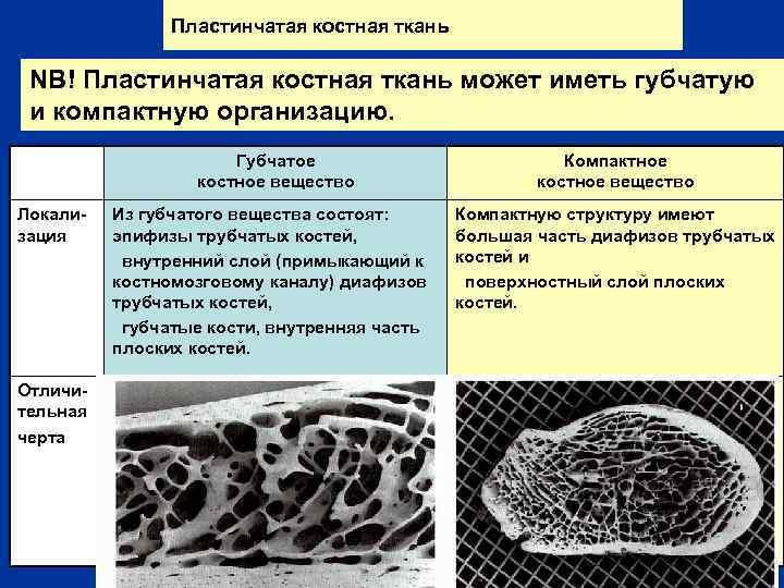 Пластинчатая костная ткань NB! Пластинчатая костная ткань может иметь губчатую и компактную организацию. Губчатое