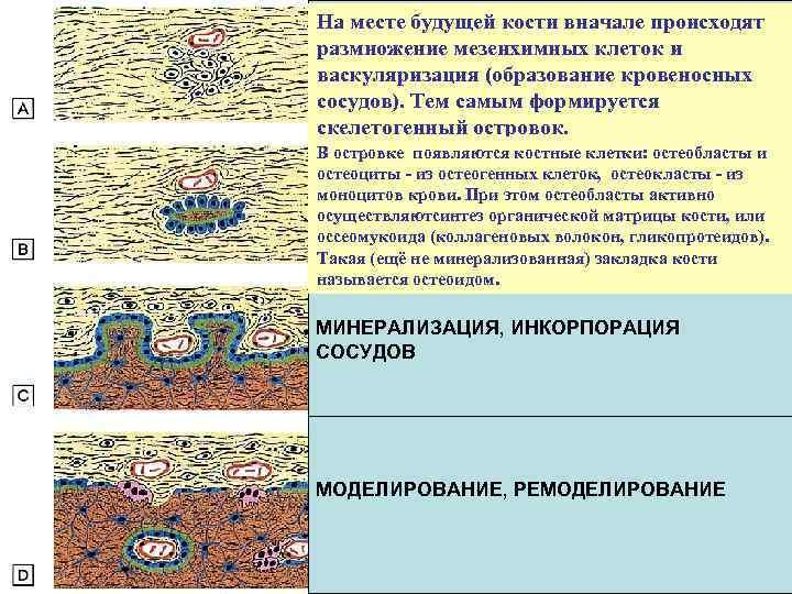 На месте будущей кости вначале происходят ОСТЕОГЕННЫЙ ОСТРОВОК размножение мезенхимных клеток и васкуляризация (образование