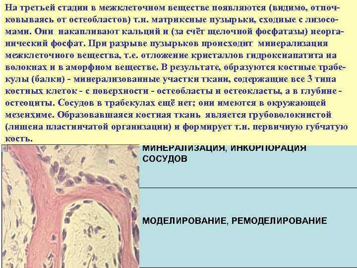 На третьей стадии в межклеточном веществе появляются (видимо, отпочковываясь от остеобластов) т. н. матриксные