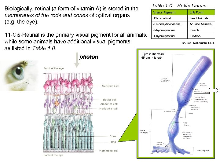 Table 1. 0 – Retinal forms Biologically, retinal (a form of vitamin A) is