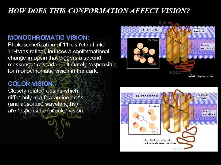 HOW DOES THIS CONFORMATION AFFECT VISION? MONOCHROMATIC VISION: Photoisomerization of 11 -cis retinal into