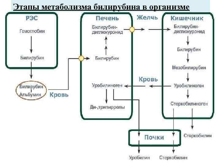Этапы метаболизма билирубина в организме