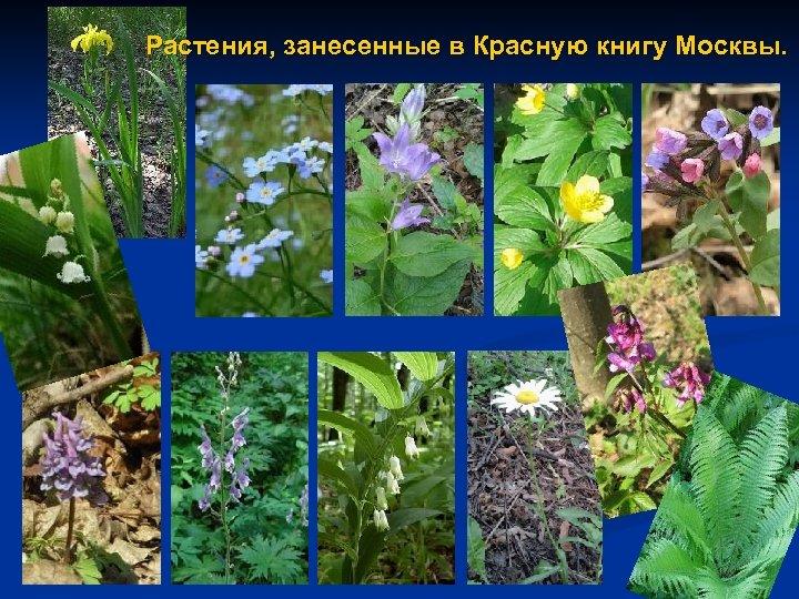 Растения, занесенные в Красную книгу Москвы.