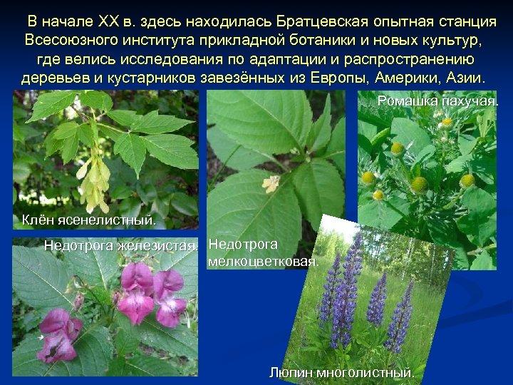 В начале XX в. здесь находилась Братцевская опытная станция Всесоюзного института прикладной ботаники и