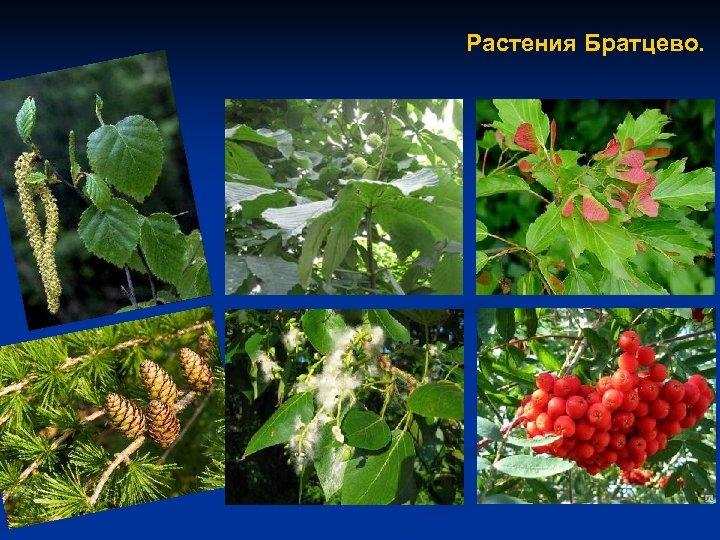 Растения Братцево.