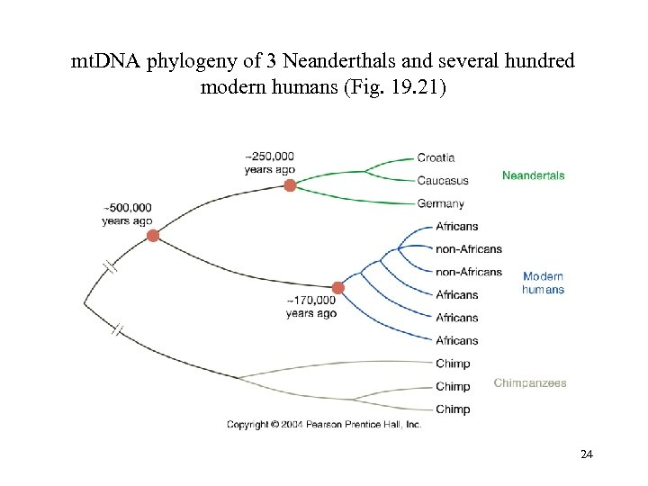 mt. DNA phylogeny of 3 Neanderthals and several hundred modern humans (Fig. 19. 21)
