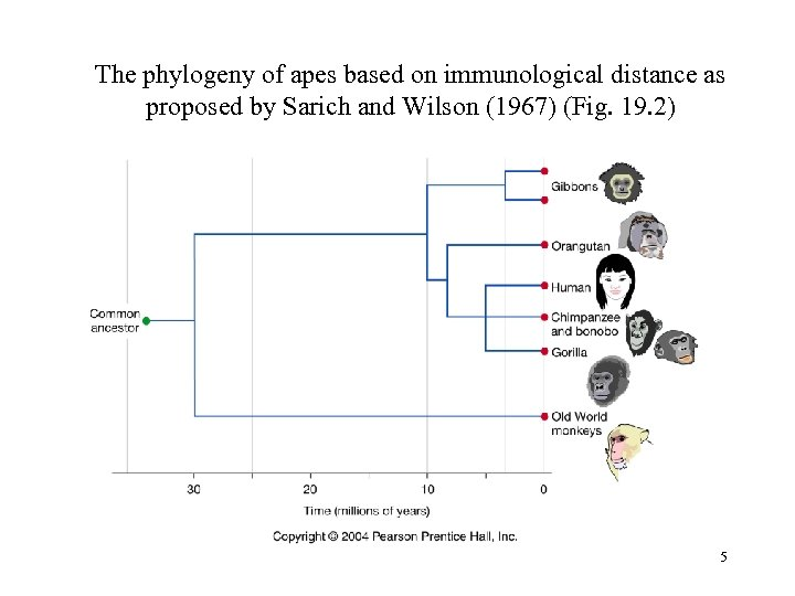 The phylogeny of apes based on immunological distance as proposed by Sarich and Wilson