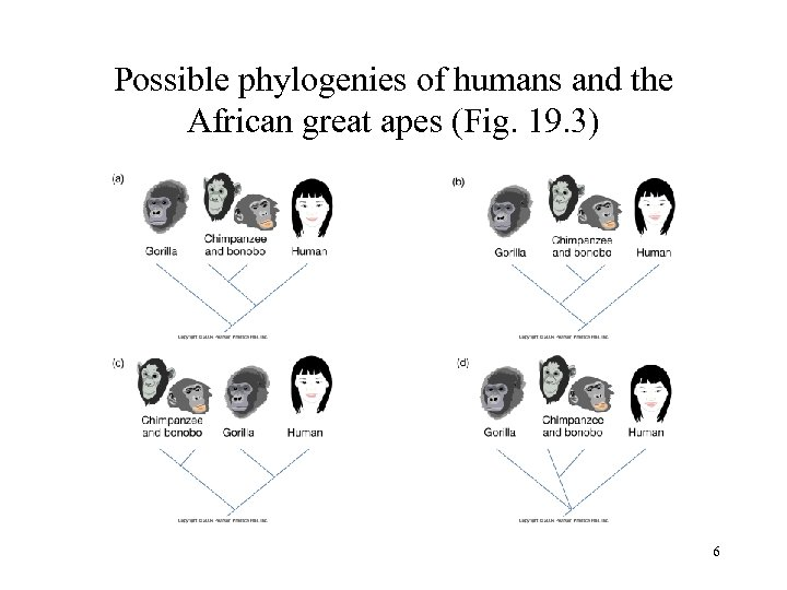 Possible phylogenies of humans and the African great apes (Fig. 19. 3) 6