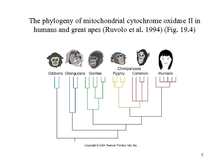 The phylogeny of mitochondrial cytochrome oxidase II in humans and great apes (Ruvolo et