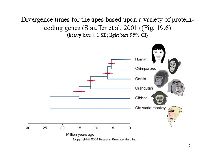 Divergence times for the apes based upon a variety of proteincoding genes (Stauffer et