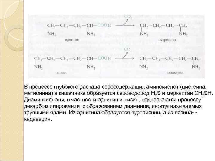 В процессе глубокого распада серосодержащих аминокислот (цистеина, метионина) в кишечнике образуется сероводород H 2