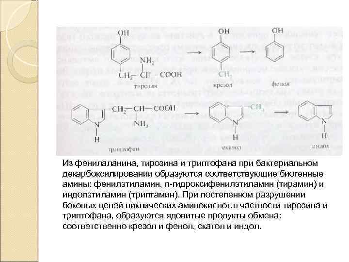 Из фенилаланина, тирозина и триптофана при бактериальном декарбоксилировании образуются соответствующие биогенные амины: фенилэтиламин, п-гидроксифенилэтиламин
