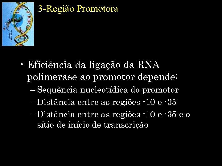 3 -Região Promotora • Eficiência da ligação da RNA polimerase ao promotor depende: –