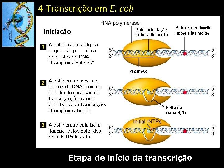 4 -Transcrição em E. coli Iniciação Sítio de iniciação sobre a fita molde Sítio