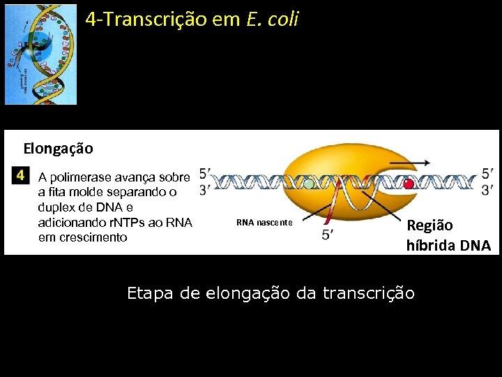 4 -Transcrição em E. coli Elongação A polimerase avança sobre a fita molde separando