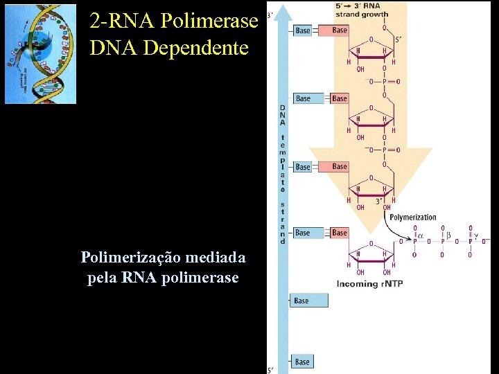 2 -RNA Polimerase DNA Dependente Polimerização mediada pela RNA polimerase