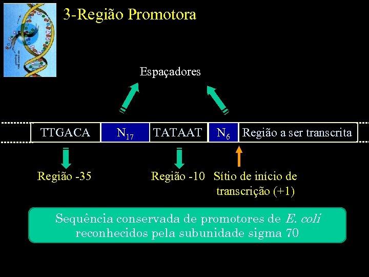 3 -Região Promotora Espaçadores TTGACA Região -35 N 17 TATAAT N 6 Região a