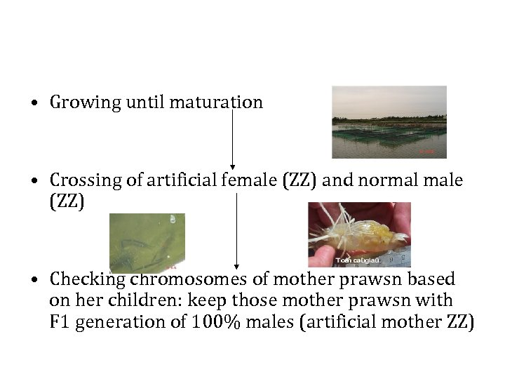 • Growing until maturation • Crossing of artificial female (ZZ) and normal male