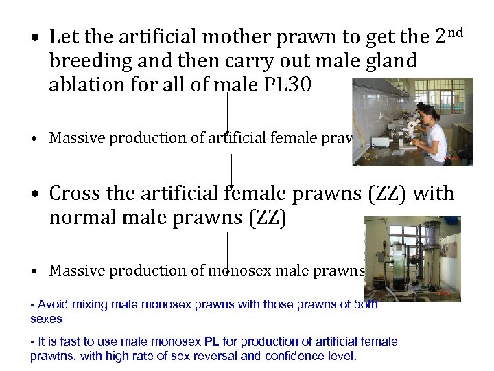 • Let the artificial mother prawn to get the 2 nd breeding and