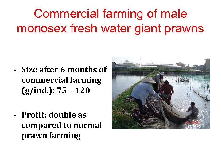 Commercial farming of male monosex fresh water giant prawns - Size after 6 months