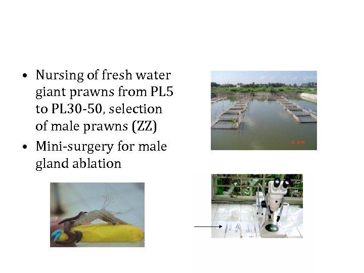 • Nursing of fresh water giant prawns from PL 5 to PL 30
