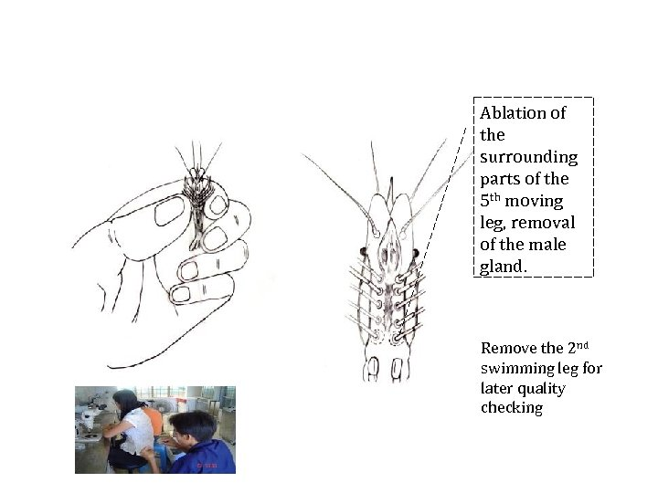 Ablation of the surrounding parts of the 5 th moving leg, removal of the