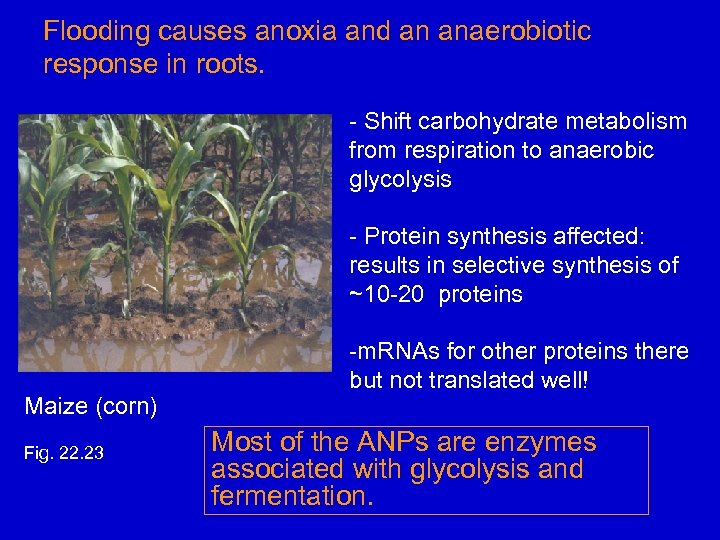 Flooding causes anoxia and an anaerobiotic response in roots. - Shift carbohydrate metabolism from