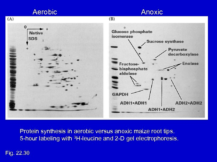 Aerobic Anoxic Protein synthesis in aerobic versus anoxic maize root tips. 5 -hour labeling