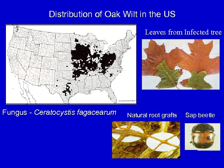 Distribution of Oak Wilt in the US Leaves from Infected tree Fungus - Ceratocystis