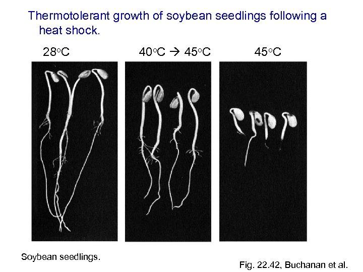 Thermotolerant growth of soybean seedlings following a heat shock. 28 o. C Soybean seedlings.