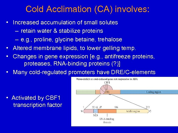 Cold Acclimation (CA) involves: • Increased accumulation of small solutes – retain water &