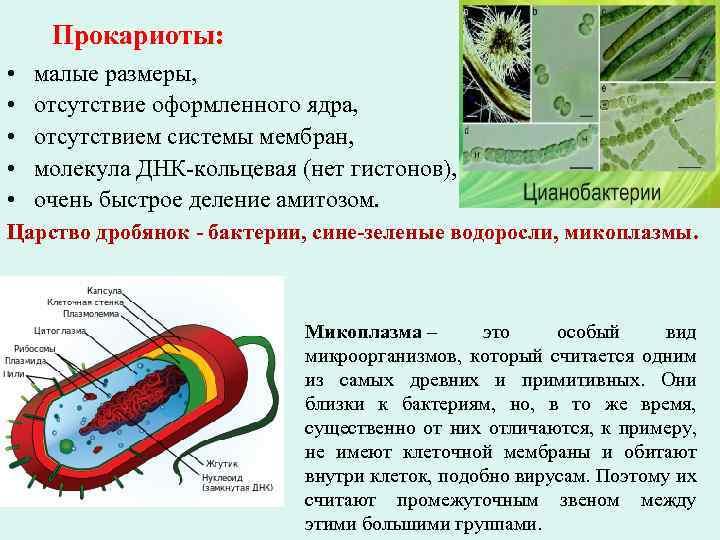 Прокариоты: • • • малые размеры, отсутствие оформленного ядра, отсутствием системы мембран, молекула ДНК-кольцевая
