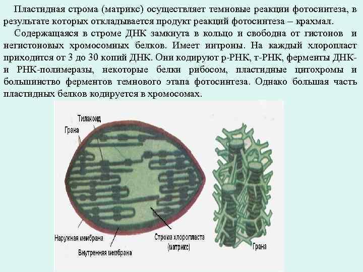 Пластидная строма (матрикс) осуществляет темновые реакции фотосинтеза, в результате которых откладывается продукт реакций фотосинтеза