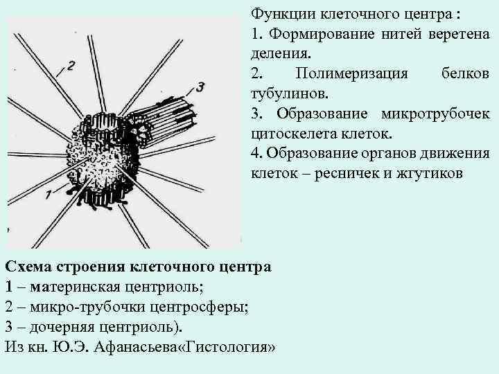 Функции клеточного центра : 1. Формирование нитей веретена деления. 2. Полимеризация белков тубулинов. 3.