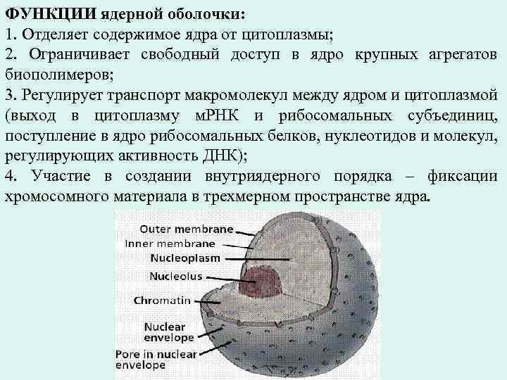 ФУНКЦИИ ядерной оболочки: 1. Отделяет содержимое ядра от цитоплазмы; 2. Ограничивает свободный доступ в