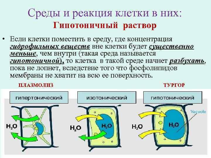 Среды и реакция клетки в них: Гипотоничный раствор • Если клетки поместить в среду,