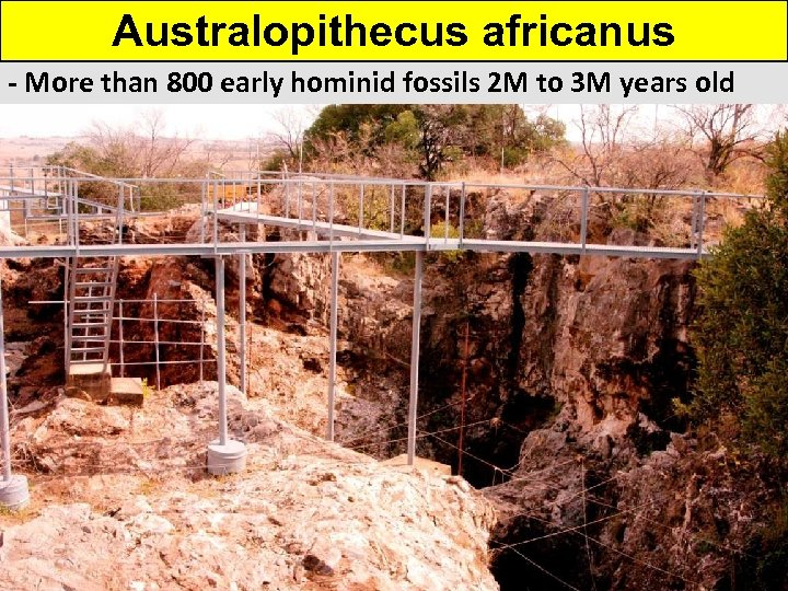 Australopithecus africanus - More than 800 early hominid fossils 2 M to 3 M