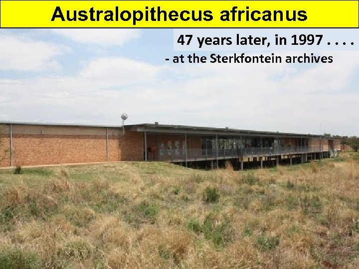 Australopithecus africanus 47 years later, in 1997. . - at the Sterkfontein archives -