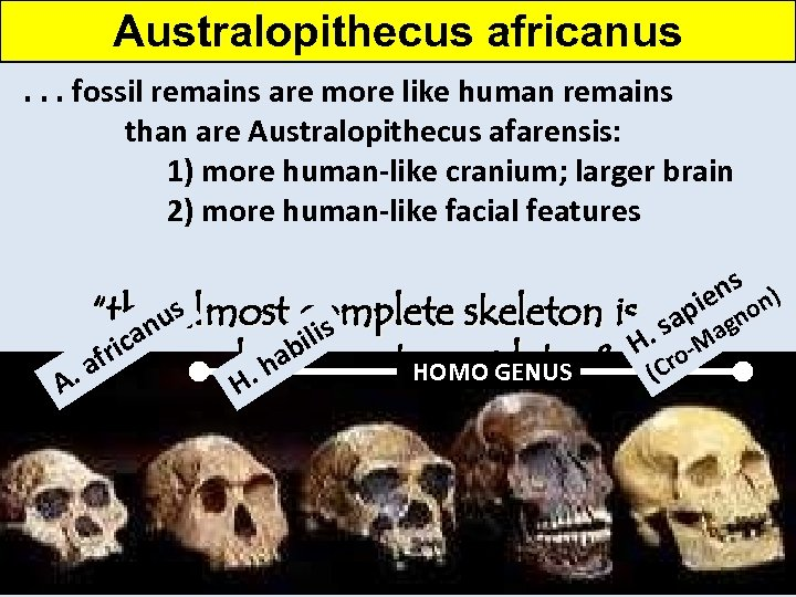 Australopithecus africanus. . . fossil remains are more like human remains than are Australopithecus
