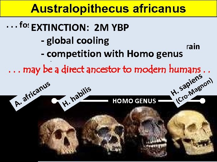 Australopithecus africanus. . . fossil remains are more like human remains EXTINCTION: 2 M