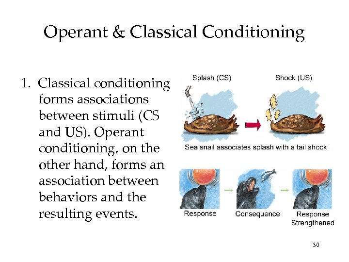 Operant & Classical Conditioning 1. Classical conditioning forms associations between stimuli (CS and US).