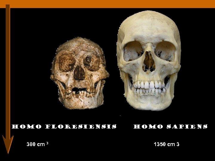 Homo floresiensis 380 cm 3 Homo sapiens 1350 cm 3