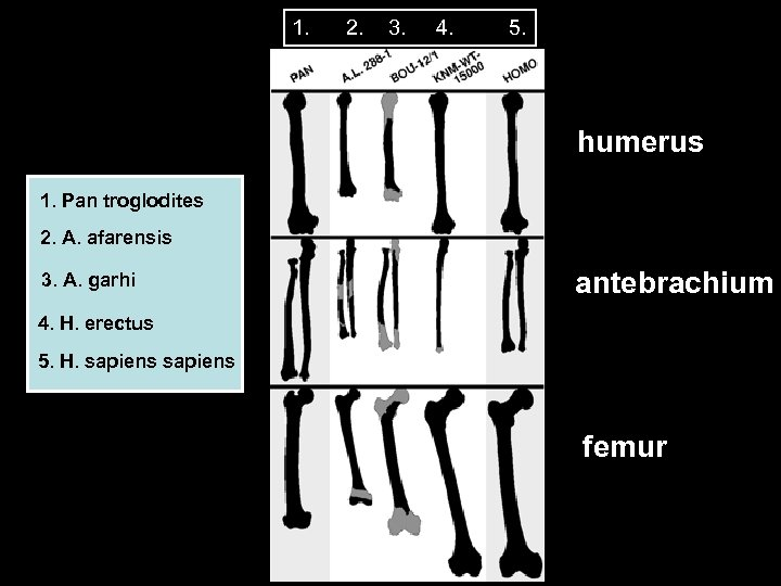 1. 2. 3. 4. 5. humerus 1. Pan troglodites 2. A. afarensis 3. A.